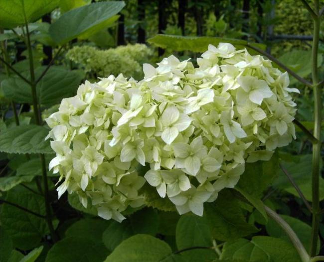 hydrangea arborescens grandiflora schneeballhortensie 40 60. Black Bedroom Furniture Sets. Home Design Ideas