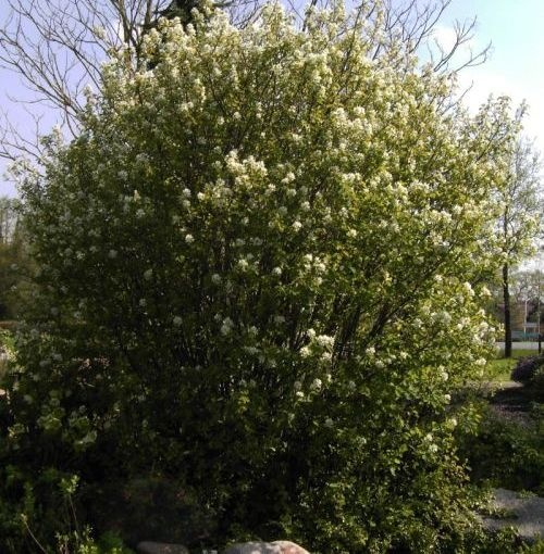 amelanchier rotundifolia helvetica felsenbirne www. Black Bedroom Furniture Sets. Home Design Ideas