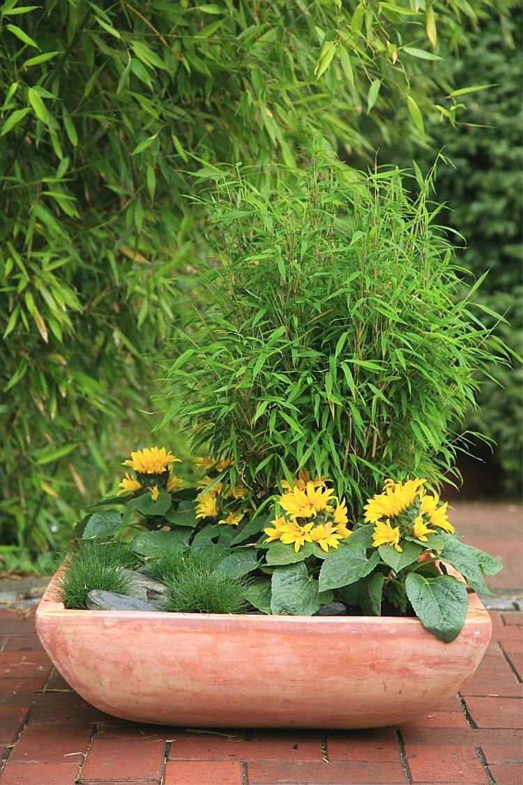 Fargesia Murielae Bimbo Dekorativer Kleiner Gartenbambus Www