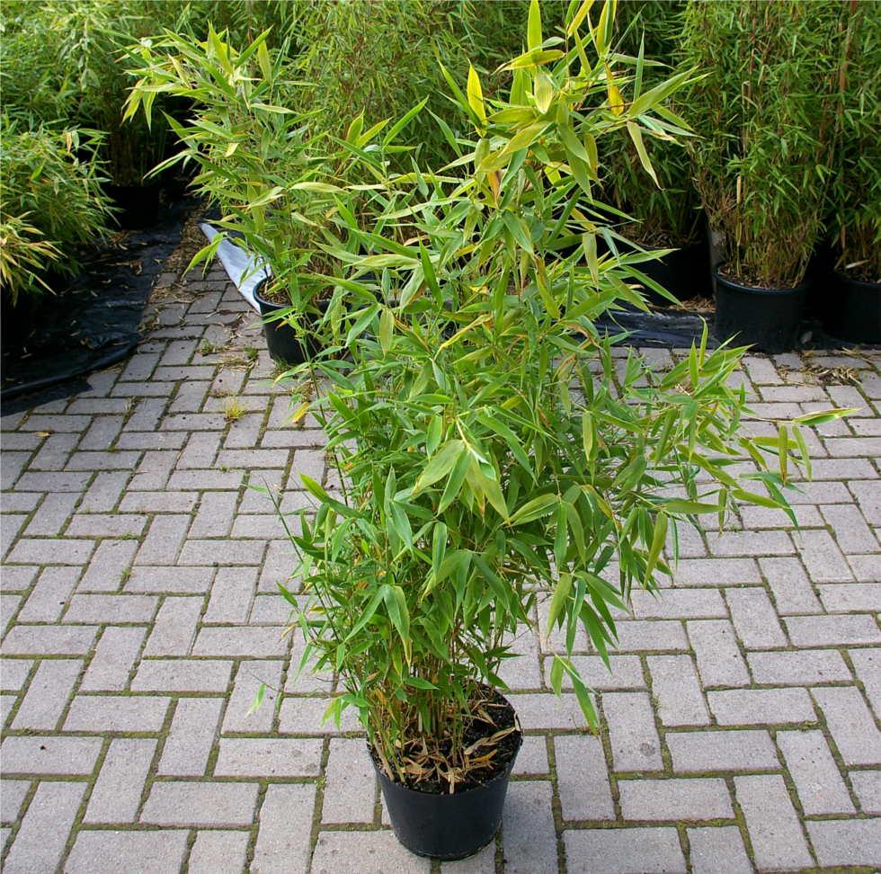 fargesia robusta campbell hoher hecken bambus 40 60 cm immergr n diesen horstigwachsenden. Black Bedroom Furniture Sets. Home Design Ideas