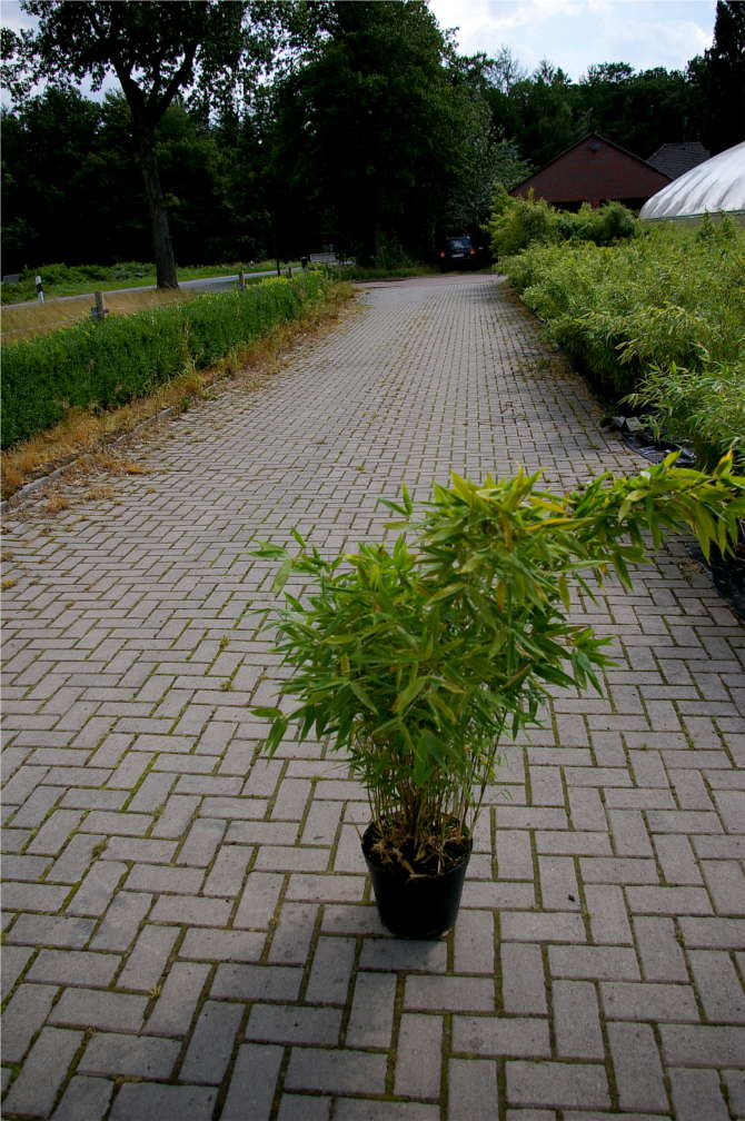 fargesia robusta campbell hoher hecken bambus 40 60 cm. Black Bedroom Furniture Sets. Home Design Ideas