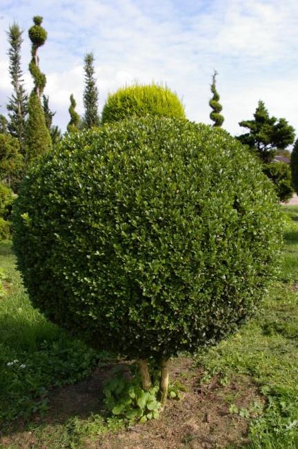 buxus sempervirens arborescens kugel auf stamm buchsbaum 30. Black Bedroom Furniture Sets. Home Design Ideas