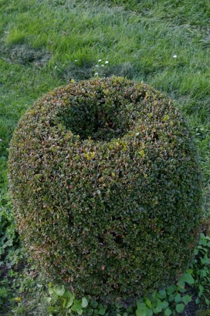 buxus sempervirens arborescens form olive buchsbaum 60. Black Bedroom Furniture Sets. Home Design Ideas