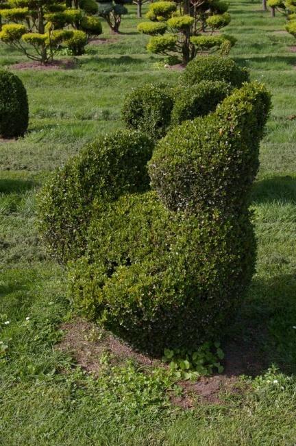 buxus sempervirens arborescens form auerhahn buchsbaum. Black Bedroom Furniture Sets. Home Design Ideas