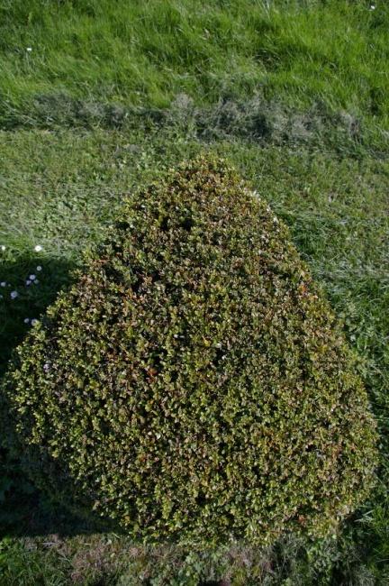 buxus sempervirens arborescens form dreieck buchsbaum. Black Bedroom Furniture Sets. Home Design Ideas