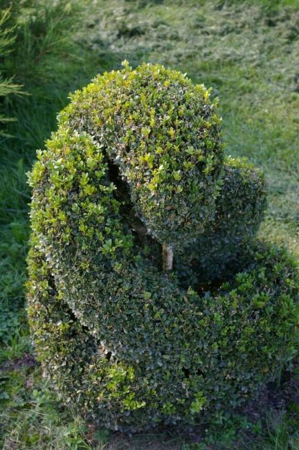 buxus sempervirens arborescens form schlange buchsbaum. Black Bedroom Furniture Sets. Home Design Ideas