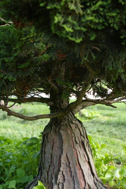 chamaecyparis obtusa nana gracilis bonsai zwerg muschelzypresse 150 175. Black Bedroom Furniture Sets. Home Design Ideas