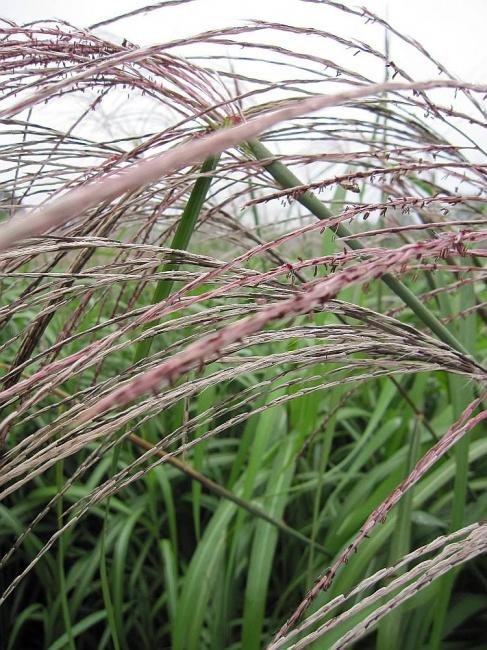 Miscanthus sinensis silberfeder garten schilf silberfeder for Japanisches schilf