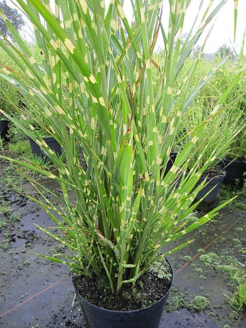 Miscanthus sinensis zebrinus strictus zebra china schilf for Japanisches schilf