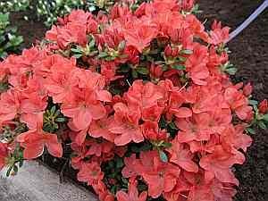Nancy Dippel 25-30 cm Rhododendron obtusum Mrs