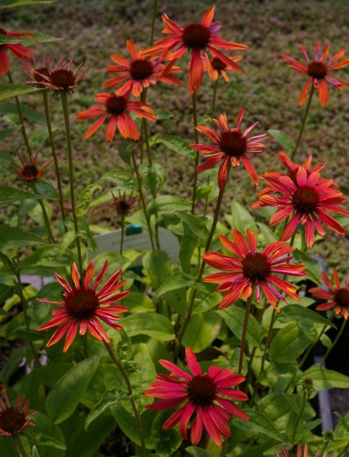 echinacea purpurea sundown roter sonnenhut www. Black Bedroom Furniture Sets. Home Design Ideas
