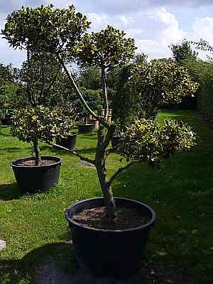 Ilex Aquifolia Aureomarginata Formschnitt Gelbbunte Stechpalme