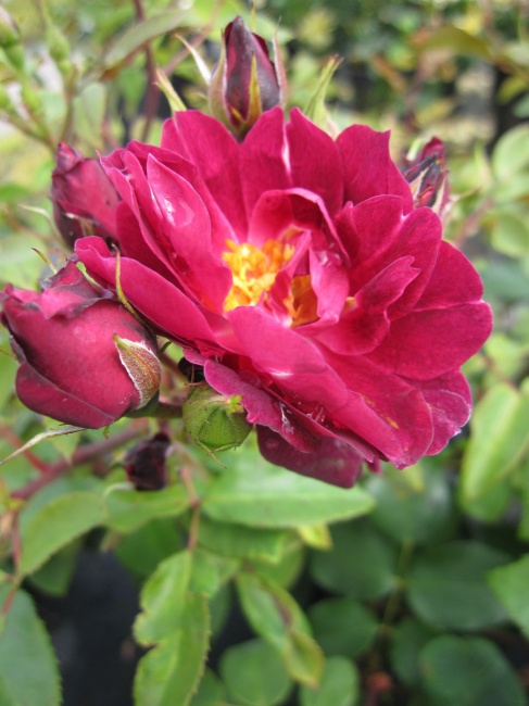 englische rose cardinal hume r englische rose www. Black Bedroom Furniture Sets. Home Design Ideas
