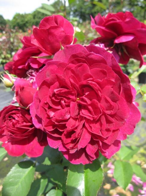 englische rose darcey bussell r englische rose www. Black Bedroom Furniture Sets. Home Design Ideas