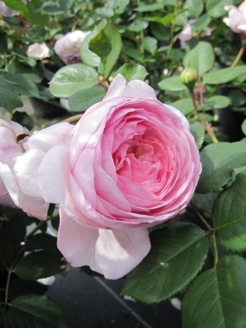 englische rose geoff hamilton r englische rose www. Black Bedroom Furniture Sets. Home Design Ideas