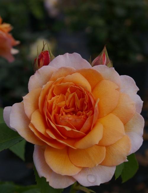 englische rose grace syn auskeppy rosa grace syn. Black Bedroom Furniture Sets. Home Design Ideas