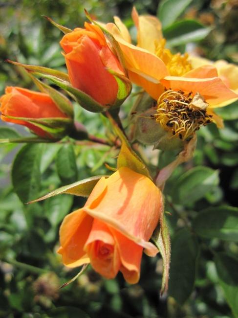 englische rose happy days r englische rose www. Black Bedroom Furniture Sets. Home Design Ideas