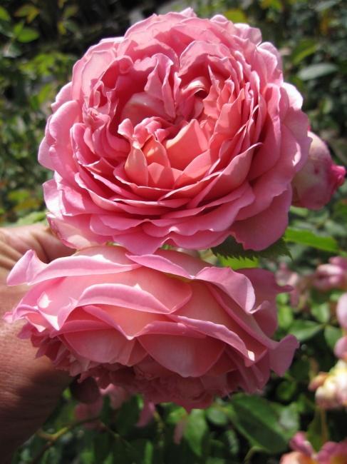 englische rose jubilee celebration r englische rose. Black Bedroom Furniture Sets. Home Design Ideas
