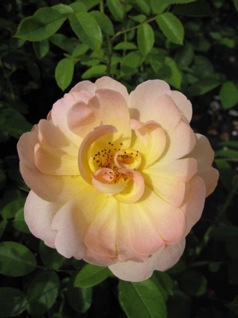 englische rose the lark ascending r englische rose. Black Bedroom Furniture Sets. Home Design Ideas