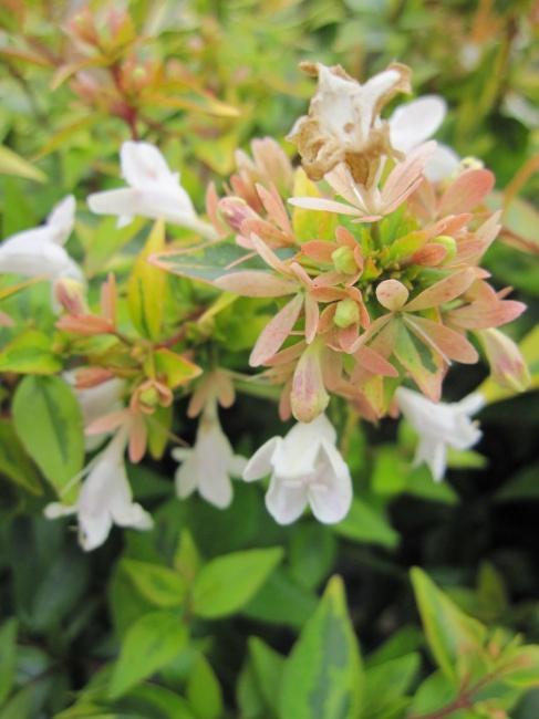 25 30 Www Bing Comhella O: Abelia Grandiflora Kaleidoscope