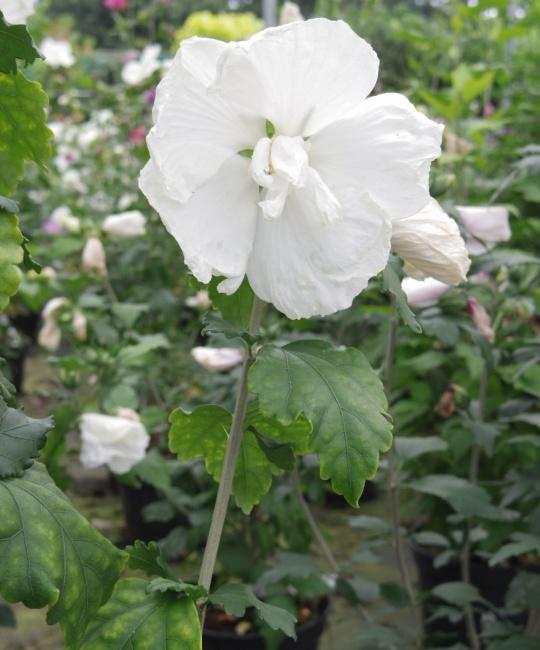 hibiscus syriacus diana garteneibisch scharonrose 40. Black Bedroom Furniture Sets. Home Design Ideas