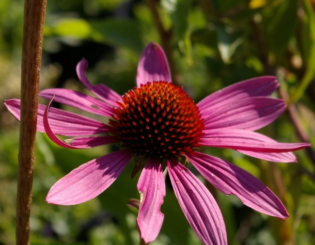 echinacea purpurea magnus roter sonnenhut. Black Bedroom Furniture Sets. Home Design Ideas