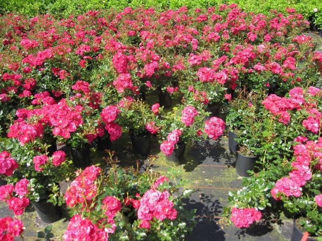 Bodendeckerrose Fairy Red 92 Rosa Fairy Red 92 Scharlachrot