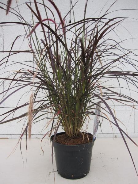 rotes federborstengras pennisetum setaceum rubrum rotes federborstengras lampenputzergras. Black Bedroom Furniture Sets. Home Design Ideas