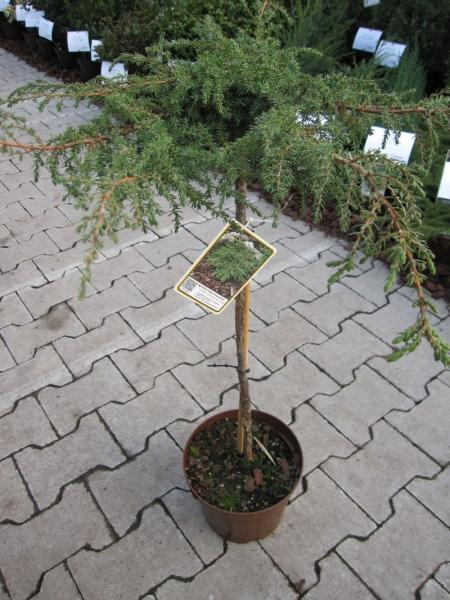 Juniperus Communis Green Carpet Teppichwacholder Green