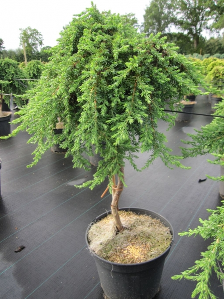 juniperus communis green mantle gr ner kriechwacholder. Black Bedroom Furniture Sets. Home Design Ideas