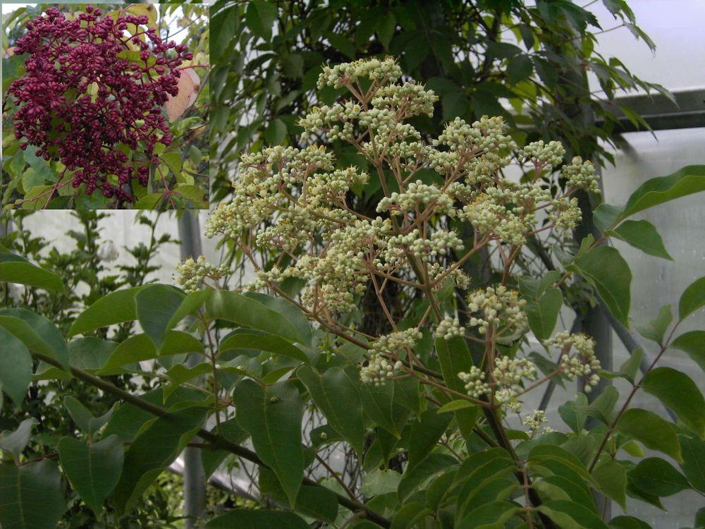 euodia hupehensis bienenweide tausendbl tenstrauch diese pflanze kaufen sie ber unseren. Black Bedroom Furniture Sets. Home Design Ideas