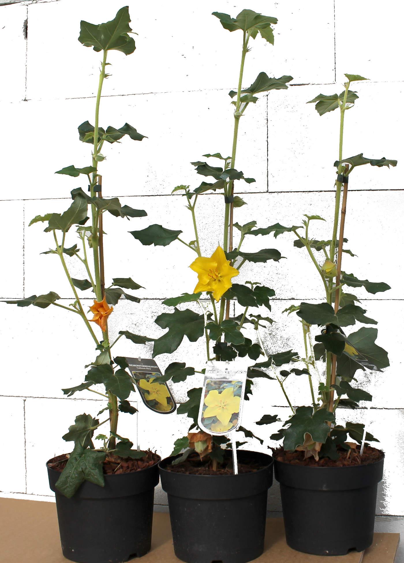 fremontodendron californicum california glory gelb. Black Bedroom Furniture Sets. Home Design Ideas