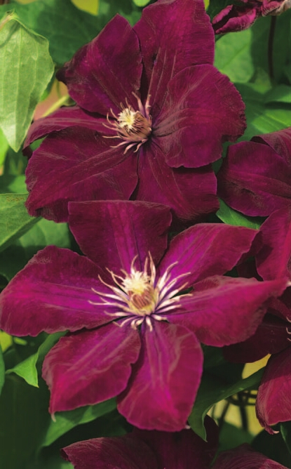 Klematis 60-100 cm Clematis Carnaby Waldrebe