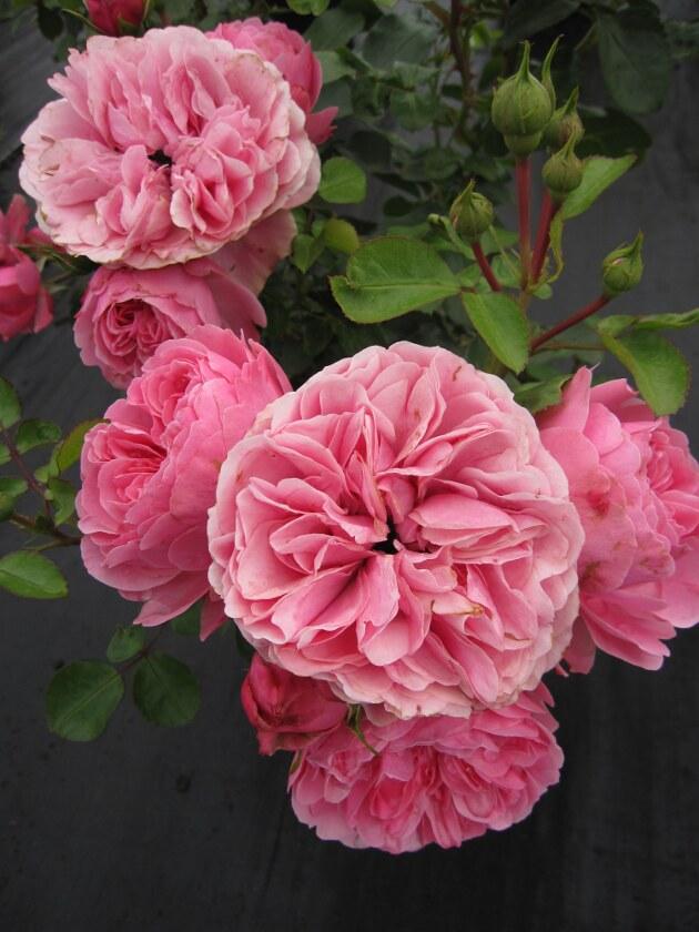 beetrose leonardo da vinci kraftvolles rosa 50cm www. Black Bedroom Furniture Sets. Home Design Ideas