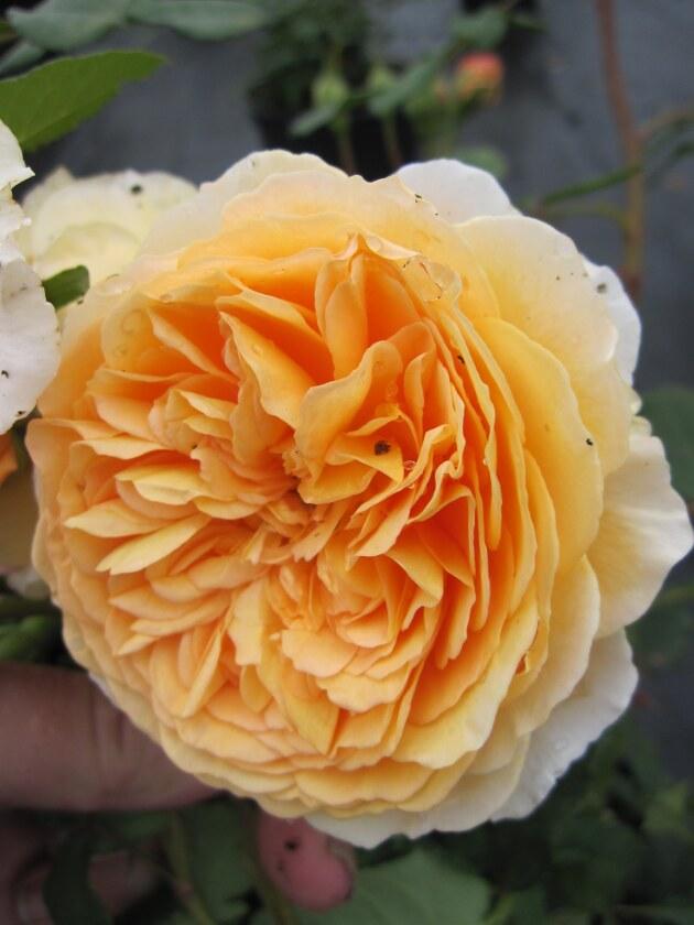 englische rose crown princess margareta apricot orange. Black Bedroom Furniture Sets. Home Design Ideas