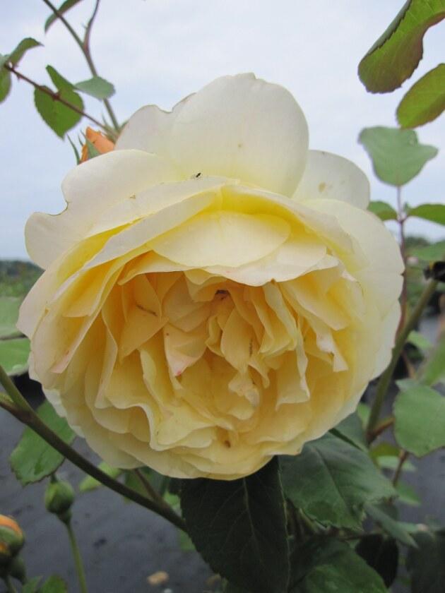 englische rose graham thomas dunkelgelb duft 60 cm. Black Bedroom Furniture Sets. Home Design Ideas