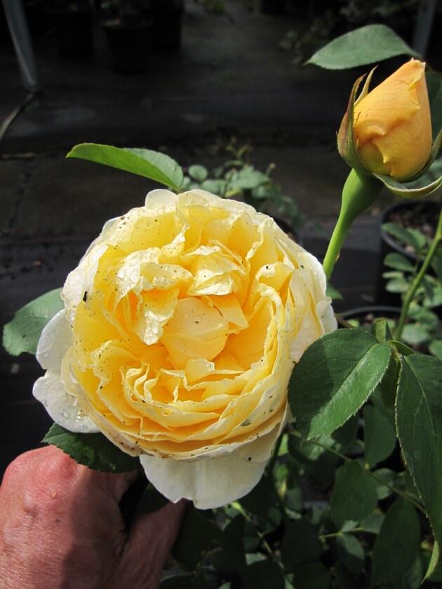 englische rose austin rose the pilgrim auswalker gelb. Black Bedroom Furniture Sets. Home Design Ideas