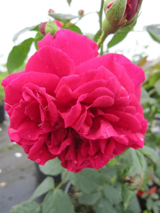 englische rose wenlock karminrot duft 50cm diese. Black Bedroom Furniture Sets. Home Design Ideas