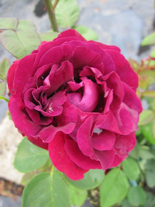 kletterrose rosa souvenir de docteur jamain dunkelrot. Black Bedroom Furniture Sets. Home Design Ideas
