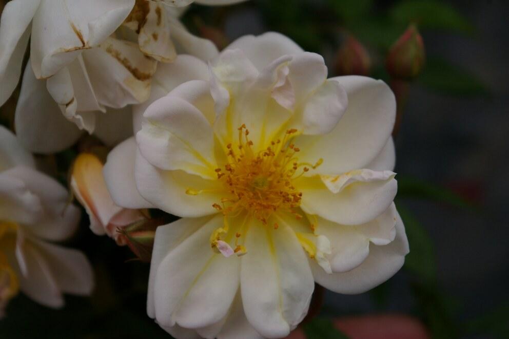 Ramblerrose Kletterrose Lykkefund® cremeweiß Duft++++ Rosa Lykkefund®