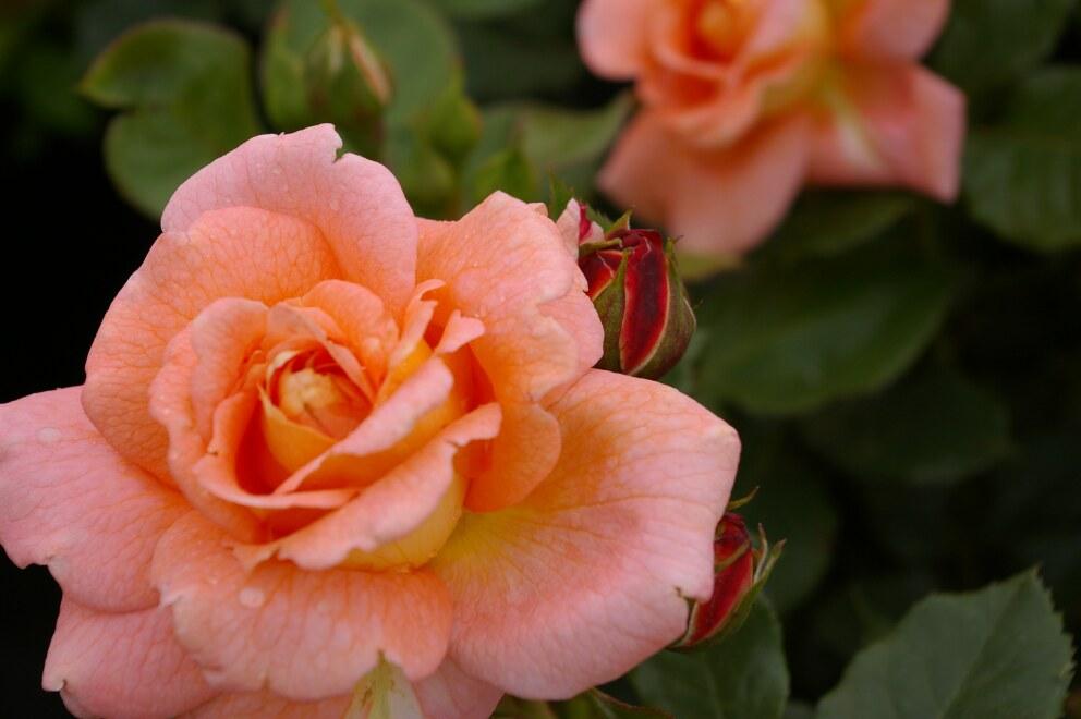 strauchrose rosa bonita renaissance orange gelb duft 50cm diese parkrose bestellen sie. Black Bedroom Furniture Sets. Home Design Ideas