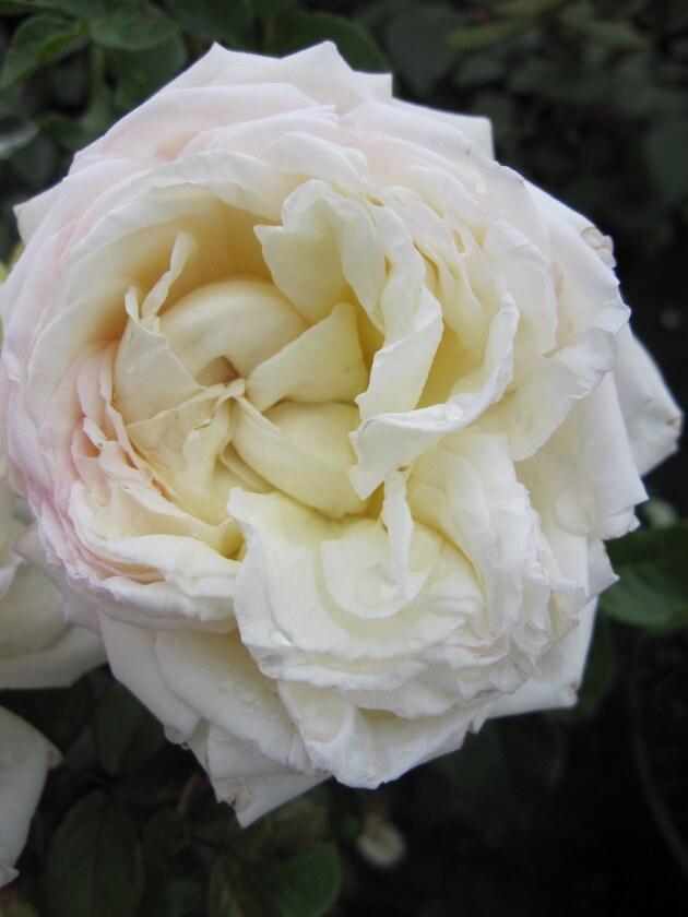 strauchrose rosa white gold wei duft 50cm diese strauchrose bestellen sie online im web. Black Bedroom Furniture Sets. Home Design Ideas
