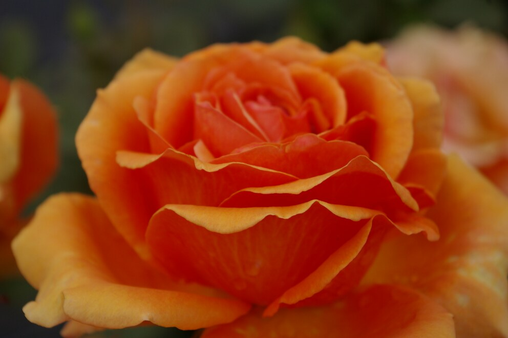 edelrose rosa ashram kupferbraun orange duft 40cm diese edelrose bestellen sie online im web. Black Bedroom Furniture Sets. Home Design Ideas
