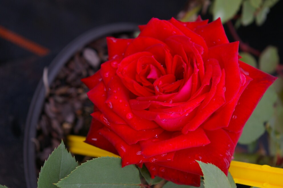 edelrose dame de coeur teehybride cherry rot leuchtend duft 40cm diese edelrose bestellen. Black Bedroom Furniture Sets. Home Design Ideas