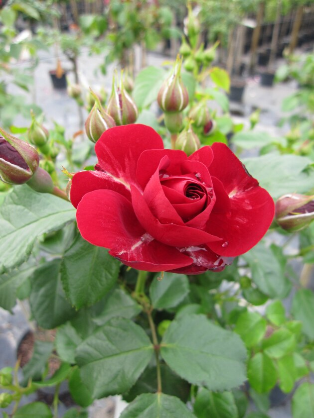hochstammrose rosa grand palace stammrose rot duft 90cm. Black Bedroom Furniture Sets. Home Design Ideas
