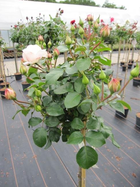 hochstammrose rosa queens palace palace rosen stammrose. Black Bedroom Furniture Sets. Home Design Ideas