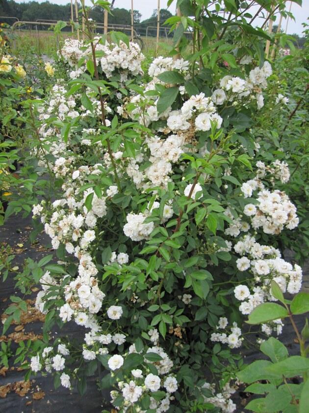 solit rrose rosa guirlande d amour ramblerrose moschata hybride wei duft ca 200 cm diese. Black Bedroom Furniture Sets. Home Design Ideas