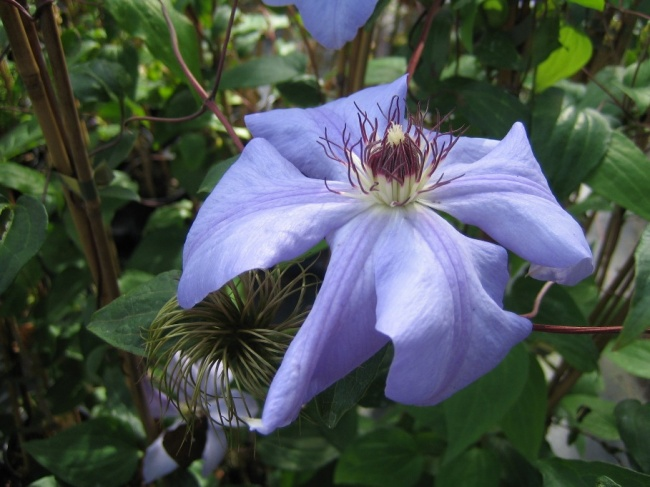 clematis hybrida sieboldii waldrebe 60 100 cm diese clematis pflanze kaufen sie im pflanzen. Black Bedroom Furniture Sets. Home Design Ideas