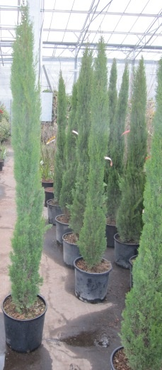 cupressus sempervirens totem toscana zypresse www. Black Bedroom Furniture Sets. Home Design Ideas