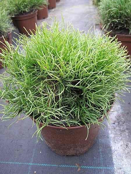 25 30 Www Bing Comhella O: Pinus Mugo Pumilio Typ Tirol